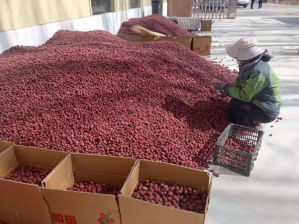 敦煌市郭家堡镇:红枣产业迎来春天